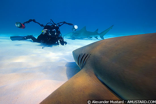 Lemon Shark and photographer