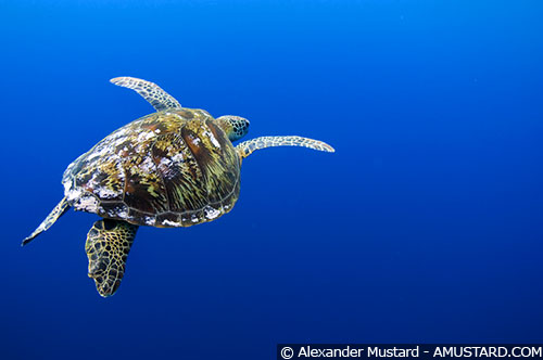 Turtle against blue - Sipadan